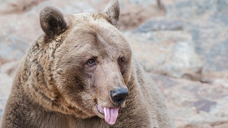 Einmal in Sibirien: Mann beißt Bären Zunge ab und überlebt Attacke des Tieres