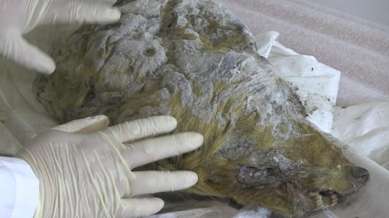 Einzigartiger Fund in Russland: Riesiger Wolfskopf gefunden - Offenbar älter als 40.000 Jahre