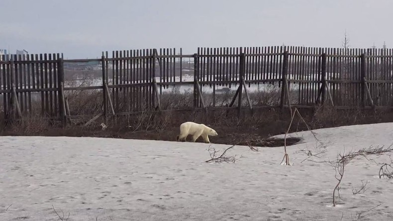 Russland: Eisbär wandert durch sibirische Stadt