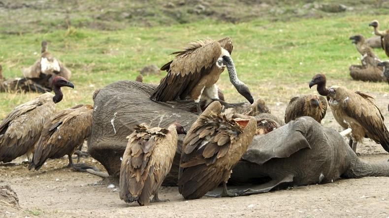 Tödliche Nahrungskette in Botsuana: Über 500 Geier sterben durch vergiftete Elefantenkadaver