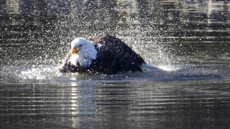 Schwimmen wie ein Schmetterling: Adler überrascht Internet-Nutzer mit seiner Schwimmtechnik