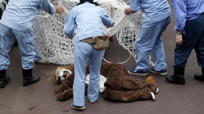 Zoo übt Maßnahmen bei Löwenausbruch: Großkatzen schauen Menschen interessiert zu