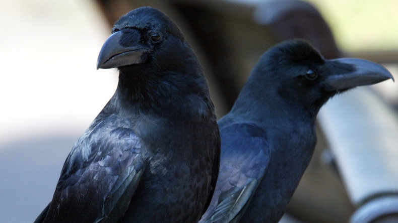 Gorilla mit Flügeln: Muskelbepackte Krähe schockiert Internet-Nutzer in Japan
