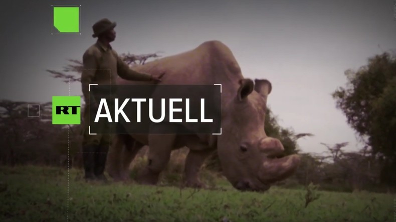 Kommt bald das erste Retorten-Nashorn? Wissenschaftler wollen bedrohte Art retten (Video)