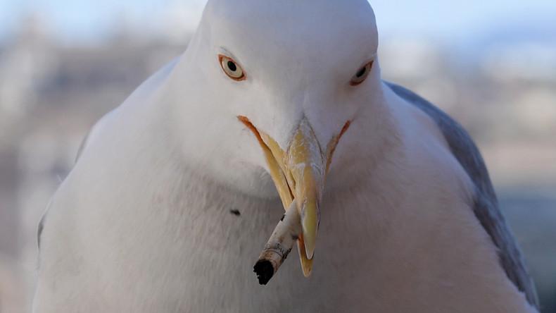 Strandmüll als neues Glied in der Nahrungskette: Vogel füttert Junges mit Zigarettenstummel