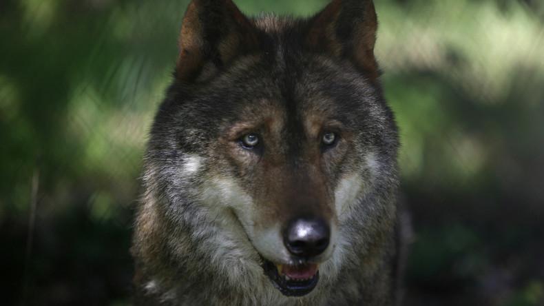Zu viele Überfälle durch Wölfe: Brandenburger Schäfer gibt auf (Video)