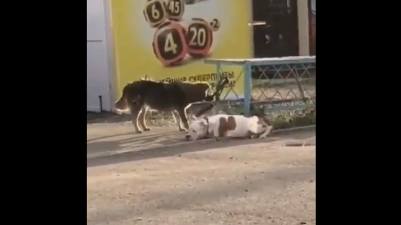 """Russland: Streuner """"befreit"""" angeleinten Hund und nimmt ihn mit auf einen Spaziergang"""