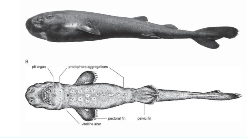 Leuchtet im Dunkeln: Wissenschaftler entdeckten neue Haiart