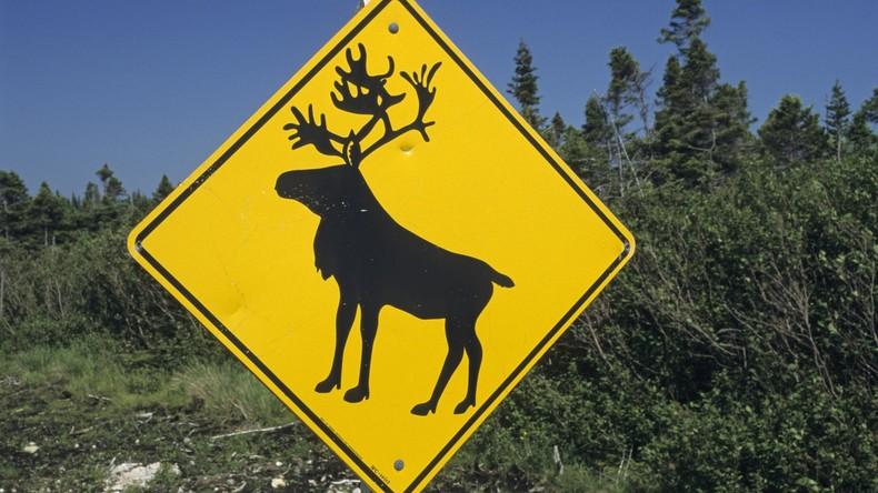 Warten auf den Weihnachtsmann: Hitzemüde Rentiere retten sich unter Lapplands schattige Bäume