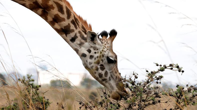 Mann besteigt Giraffe im Zoo – Tier wirft Reiter ab