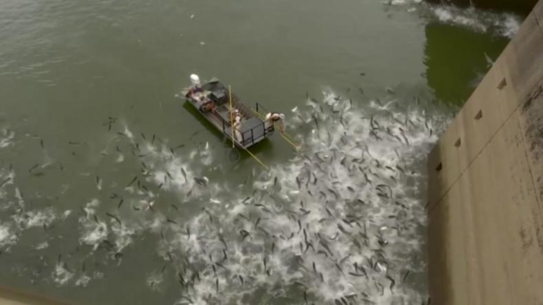 Radikale Maßnahme: Hunderte Fische werden mittels Elektroschock eliminiert