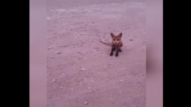 Russland: Tiere laufen vor Waldbrand davon und suchen sogar Kontakt zu Menschen