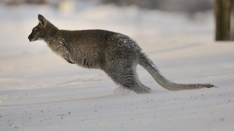Von wegen alle Jahre wieder: Kängurus hüpfen in verschneiten Savannen bei Kältewelle in Australien