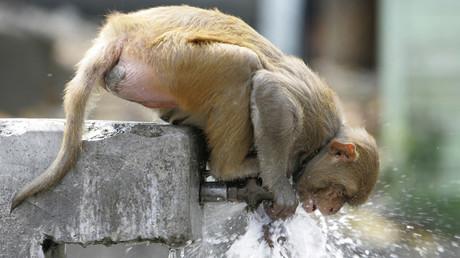 Umweltbewusster als manche Menschen: Affe stillt Durst und dreht danach Wasserhahn zu (Symbolbild)