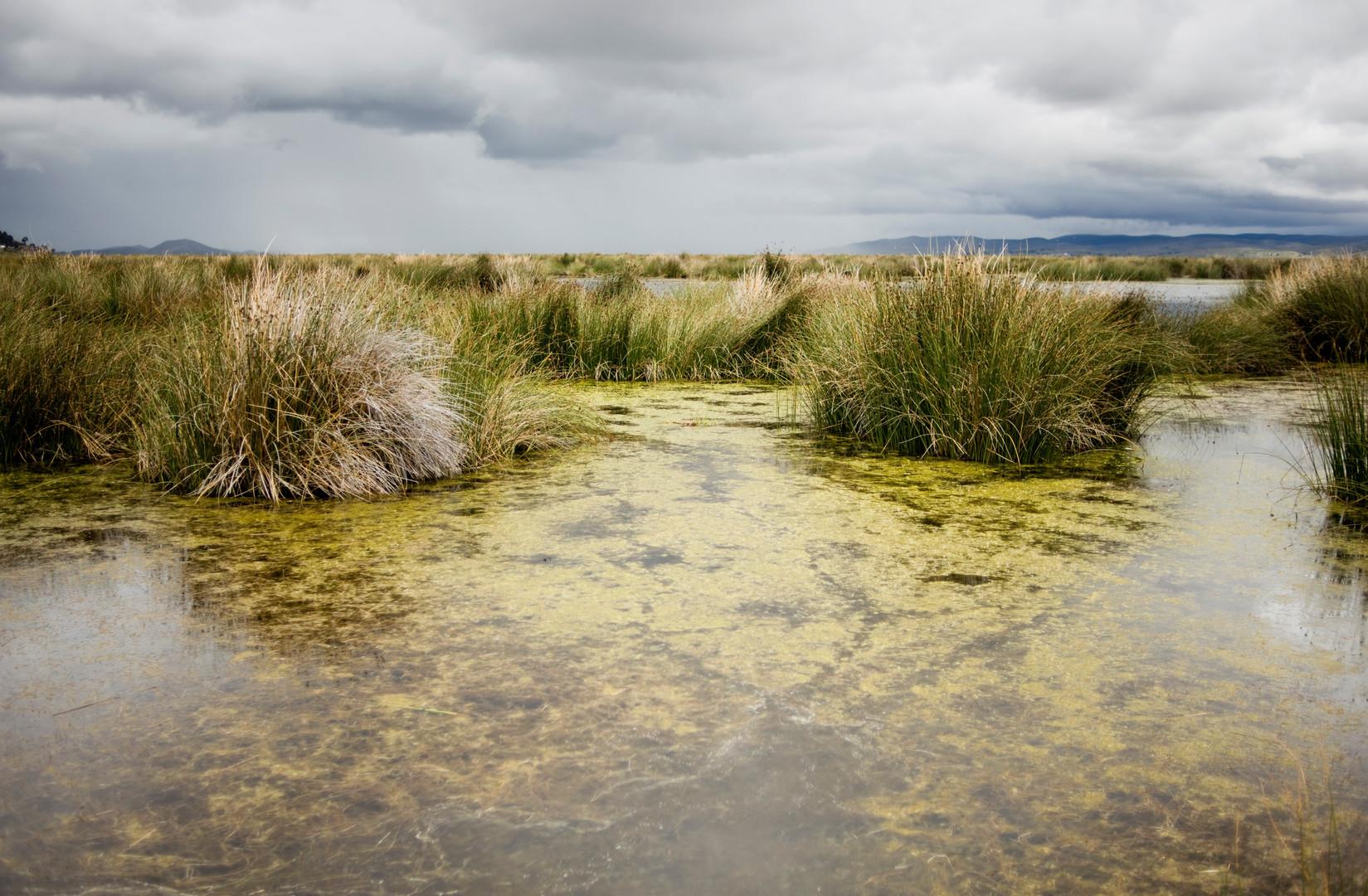 Algen schwimmen in seichtem Wasser in der Bucht Cohana, nahe Titicaca