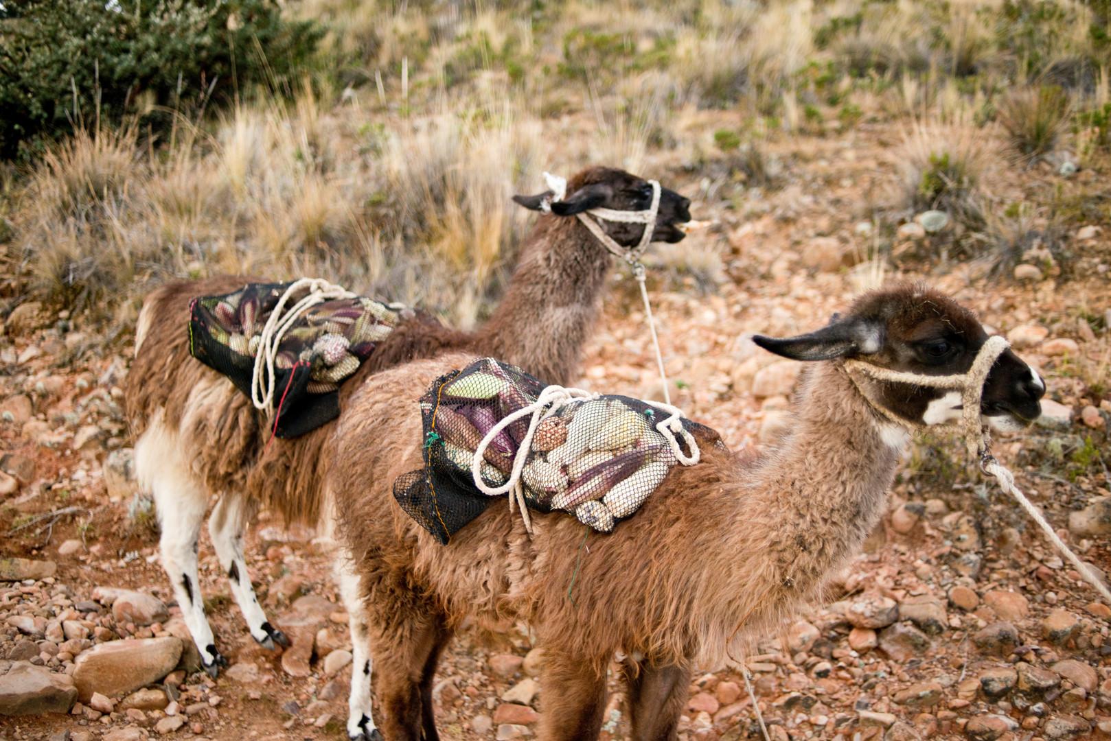 Alpakas sind in der Region des Titicacasees weit verbreitet