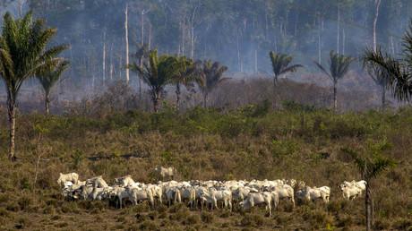 Agrobusiness trifft auf Regenwald – ein Vieherde nahe einer vom Waldbrand heimgesuchten Fläche im Amazonas im August 2019.