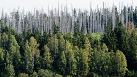 Vom Borkenkäferbefall geschädigter Waldbestand im Nationalpark Harz.