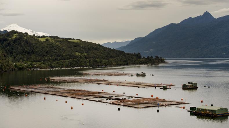 Durchs Netz gegangen: Mehr als 32.000 Silberlachse brechen aus Fischfarm in Chile aus