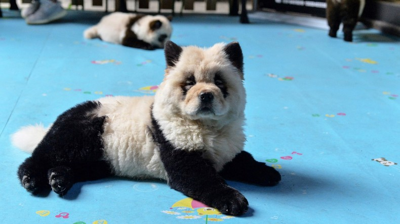 Empörung im Internet: Tiercafé in China färbt Hunde im Panda-Stil