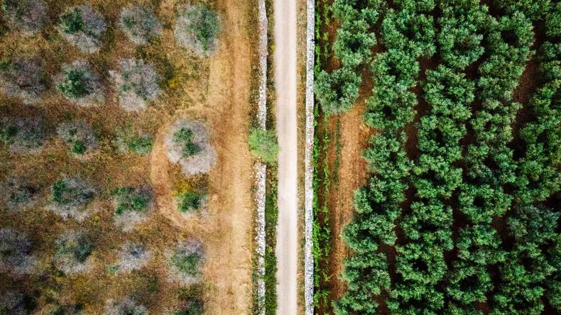 Das Sterben der Oliven: Wie das Bakterium Xylella fastidiosa Italiens Süden zerstört