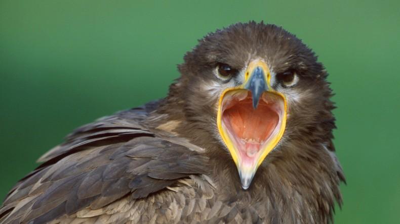 Teure Überwachung: Steppenadler simst russische Ornithologen beinahe pleite