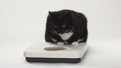 Fettleibige Katze macht auf Laufband erste Schritte in Richtung Schlankheit (Symbolbild)