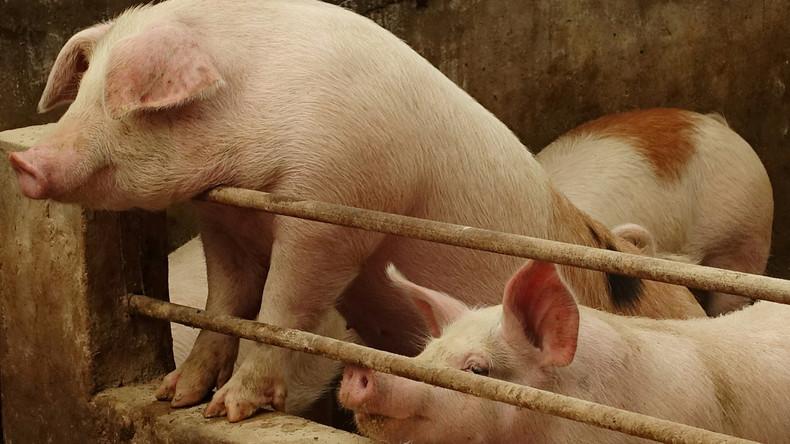 Schweinepest: China will entstandene Engpässe durch Import von russischem Schweinefleisch decken