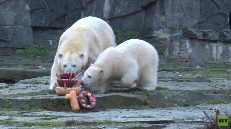 Frostiger Geburtstag: Eistorte für die Eisbären in Berlin (Video)