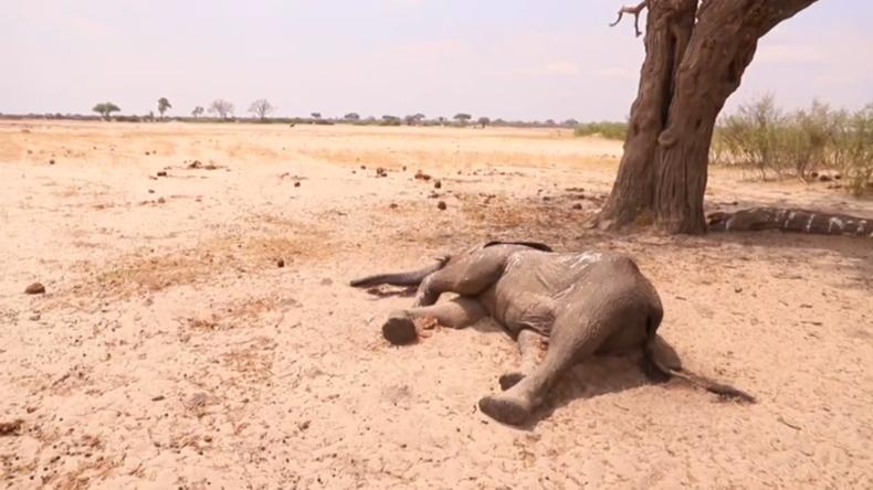 Simbabwe: Über 100 Elefanten verhungern inmitten schwerer Dürren