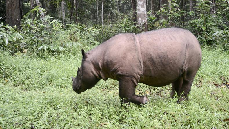 Malaysia hat keine Sumatra-Nashörner mehr – 80 letzte Artgenossen leben nur noch in Indonesien