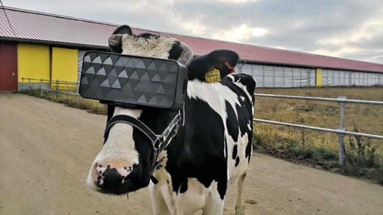 Virtuelle Wiese für besseren Milchertrag: Milchfarm bei Moskau testet VR-Brille für Kühe