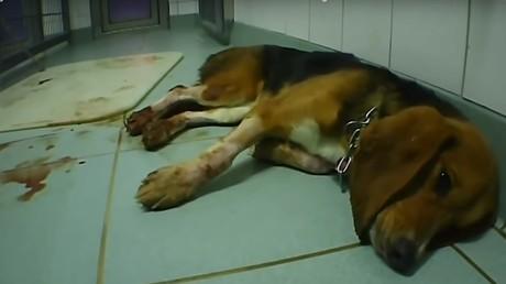 Hunde und andere Tiere verenden nach schmerzhaften und teils unnützen Quälereien in Tierversuchslaboren. Das Bild aus dem LPT-Labor Mienenbüttel stammt von SOKO Tierschutz.