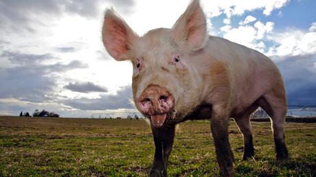 Schweinische Berichterstattung: Sau belästigt Reporter in Live-Sendung (Symbolbild)