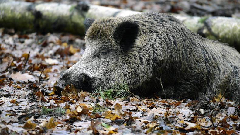 Nur noch 42 Kilometer: Afrikanische Schweinepest auf dem Vormarsch nach Deutschland