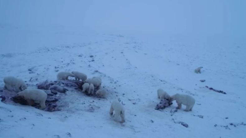 Eisbären-Invasion: Dutzende Polarbären belagern russisches Dorf