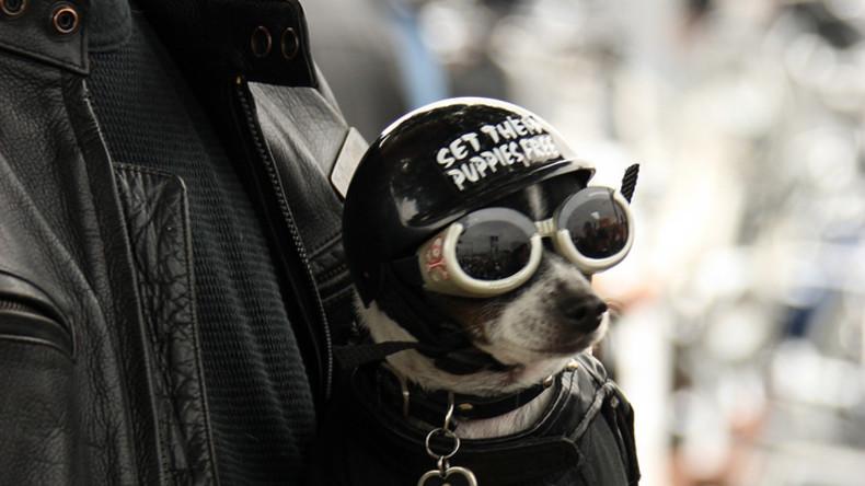 Sicher ist sicher: Hunde dürfen auch behelmt Motorrad fahren