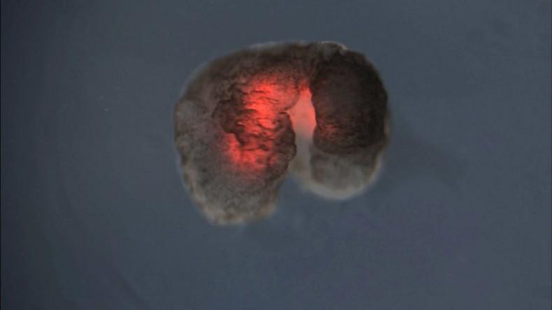 """""""Weder Roboter noch Tiere"""": Forscher entwickeln erste Nanobots komplett aus lebenden Zellen"""
