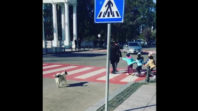 Straßenhündin stoppt Verkehr und hilft Kindern über belebte Straße