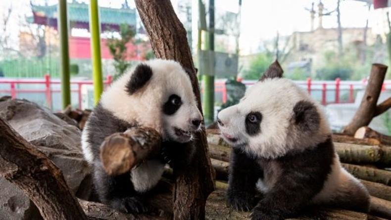Wahre Geschwisterliebe: Panda-Zwillinge sollen Herzen der Berliner erobern (Video)