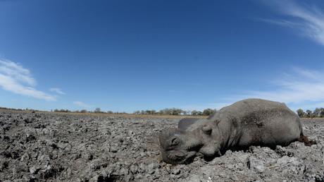 Ein verendetes Flusspferd im ausgetrockneten Kanal des Okavangodeltas (Bild vom 28. September 2019)