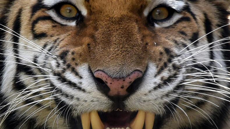 RT-Doku: Dem geheimnisvollen Amur-Tiger auf der Spur
