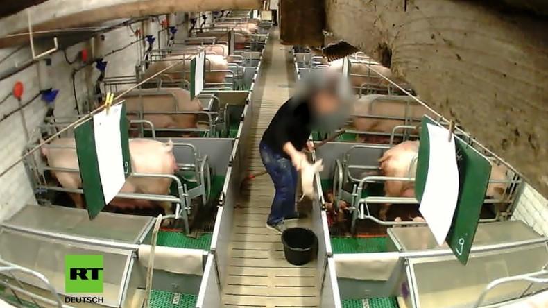 Billiges Fleisch: Das unsagbare Leiden der Schweine (Video)