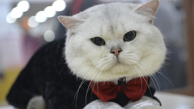 Katzenparadies Istanbul: Stubentiger erntet Beifall für Auftritt bei Klassik-Konzert