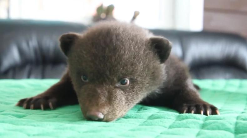 Drei Bärenwelpen in Karton vor Irkutsker Tierheim gefunden