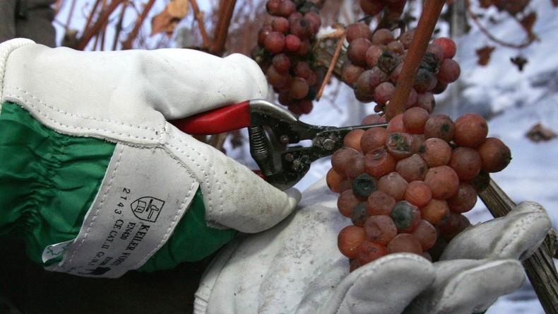 Nicht kalt genug: Deutsche Winzer beklagen erstmals Jahrgang ohne Eiswein
