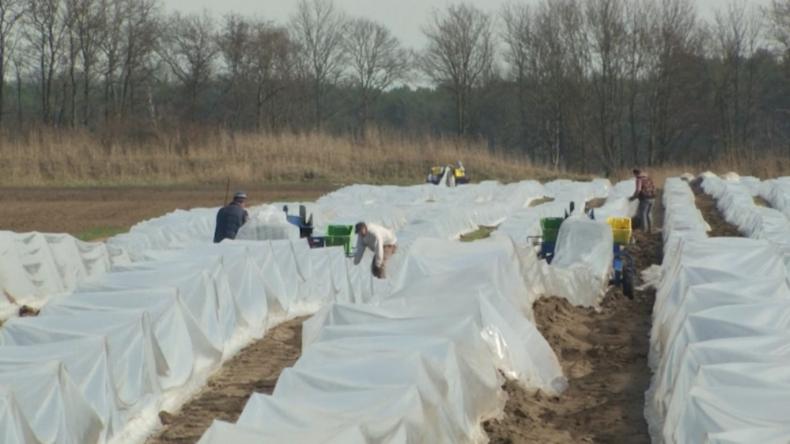 Coronavirus: Spargel-Ernte durch Arbeitskräftemangel wegen Grenzschließung nach Osteuropa bedroht