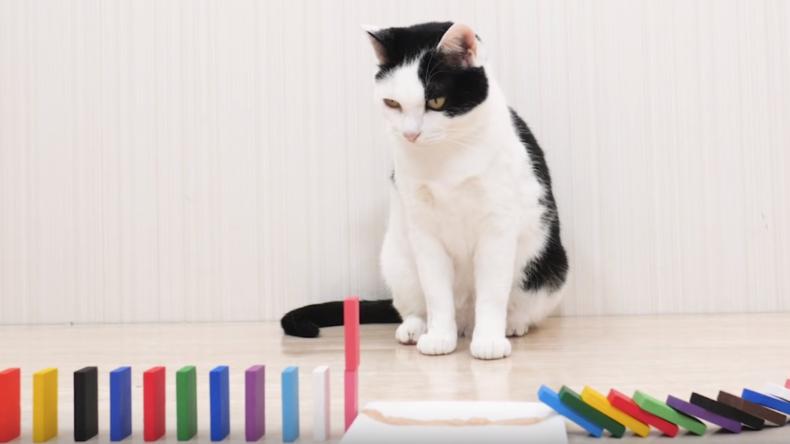 Katzen-Video: Dominoeffekt für eine Handvoll Futter fasziniert – auch Millionen Zuschauer