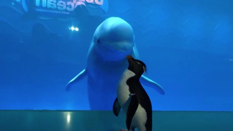 Wenn wegen Corona die menschlichen Gäste fernbleiben: Pinguin besucht Belugawal-Becken