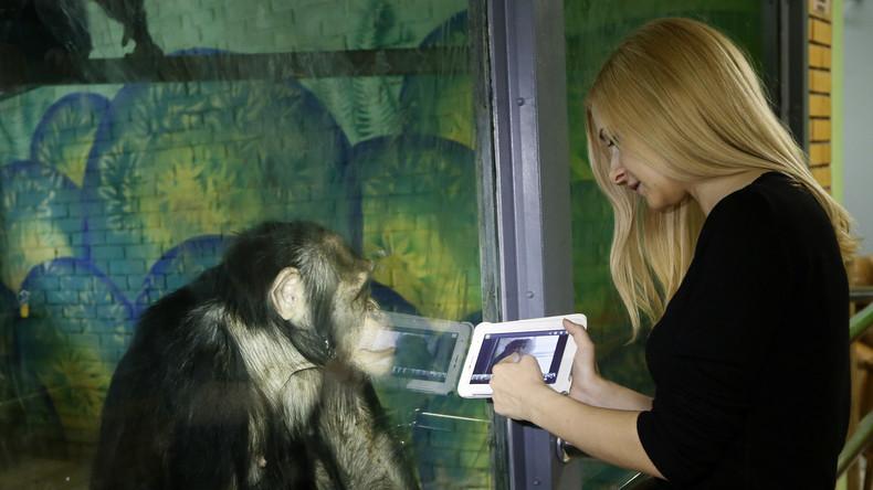 Langeweile ohne Zoo-Besucher: Tierpfleger zeigen Schimpansen Zeichentrickfilme